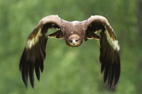 Orel skalní v letu. Je jedním z největších orlů na severní polokouli a největší dravec, který se vyskytuje v Česku. Foto KAN KAŠINSKÝ