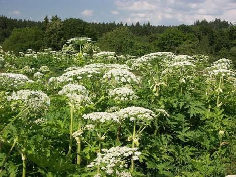 Strategie bolševníku je mazaná! Využívá faktu, že jeho semena vyklíčí velmi brzy na jaře, rychle přerostou většinu rostlin a vytvoří zákryv, který pohltí sluneční záření a zcela znemožní růst ostatním rostlinám. FOTO archiv