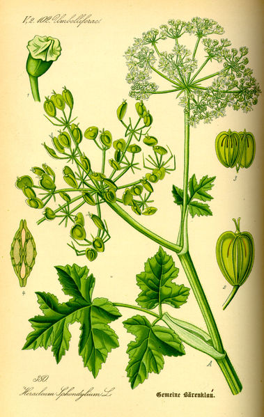 Bolševník obecný (Heracleum sphondylium) je rostlina z čeledi miříkovitých vyskytující se ve Středomoří a mírném pásu Evropy a Asie. Někdy se udává i Severní Amerika; závisí to na tom, zda autor nahlíží na jediného tamního zástupce rodu bolševník jako na samostatný druh (Heracleum maximum Bartram, 1791), nebo zda jej považuje za pouhý poddruh bolševníka obecného (Heracleum sphondylium subsp. montanum (Schleicher ex Gaudin) Briquet, 1905, resp. H. sphondylium var. lanatum (Michaux) Dorn, 1988, resp. H. sphondylium subsp. lanatum (Michaux) A. Löwe & D. Löwe, 1982). Obvyklejší je však pojetí amerického zástupce jakožto samostatného druhu. Repro  Prof. Dr. Otto Wilhelm Thomé Flora von Deutschland, Österreich und der Schweiz 1885, Gera, Německo