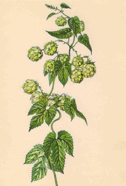 Chmel obecný - Humulus lupulus. Repro archiv