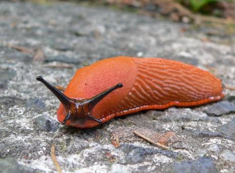 Plzák španělský (Arion lusitanicus) je plž z čeledi plzákovitých pocházející ze severní části Pyrenejského poloostrova, západní Francie a jižní Anglie. Rostlinným materiálem a odpady byl od roku 1955 zavlečen do velké části Evropy a od roku 1998 také do USA.[2] V novém areálu je to velice nepříjemný invazní druh škodlivého plže, který vytlačuje původní druhy plzáků a páchá obrovské škody v zemědělství. FOTO archiv