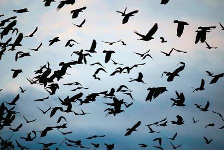 Havrani odlétli s bílými křídly. FOTO archiv
